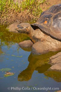 Galapagos tortoise, Santa Cruz Island species, highlands of Santa Cruz island. Santa Cruz Island, Galapagos Islands, Ecuador, Geochelone nigra, natural history stock photograph, photo id 16487