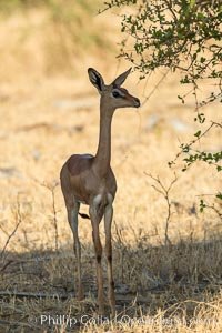 Gerenuk, Meru National Park, Kenya.  Female.  The Gerenuk is a long-necked antelope often called the giraffe-necked antelope, Litocranius walleri