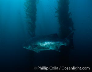 Giant black seabass in kelp forest. San Clemente Island, California, USA, Stereolepis gigas, Macrocystis pyrifera, natural history stock photograph, photo id 06266