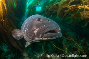 Giant black sea bass, endangered species, reaching up to 8' in length and 500 lbs, amid giant kelp forest. Catalina Island, California, USA, Stereolepis gigas, natural history stock photograph, photo id 33371