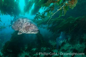 Giant black sea bass, endangered species, reaching up to 8' in length and 500 lbs, amid giant kelp forest. Catalina Island, California, USA, Stereolepis gigas, natural history stock photograph, photo id 33377