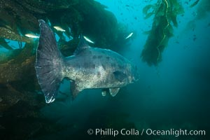 Giant black sea bass, endangered species, reaching up to 8' in length and 500 lbs, amid giant kelp forest. Catalina Island, California, USA, Stereolepis gigas, natural history stock photograph, photo id 33389