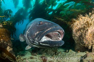 Giant black sea bass, endangered species, reaching up to 8' in length and 500 lbs, amid giant kelp forest. Catalina Island, California, USA, Stereolepis gigas, natural history stock photograph, photo id 33409