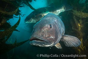 Giant black sea bass, endangered species, reaching up to 8' in length and 500 lbs, amid giant kelp forest, Stereolepis gigas, Catalina Island
