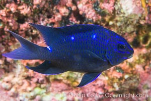 Giant damselfish juvenile, Sea of Cortez, Isla Las Animas, Baja California, Mexico