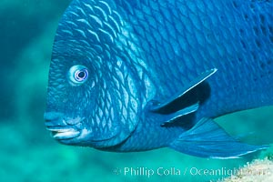Giant damselfish, Sea of Cortez, Baja California, Mexico. Punta Alta, natural history stock photograph, photo id 33733