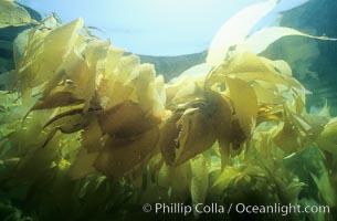 Kelp fronds, Macrocystis pyrifera