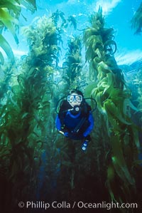 Diver in kelp forest, Macrocystis pyrifera, San Clemente Island
