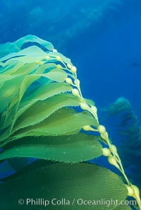 Kelp frond. Santa Barbara Island, California, USA, Macrocystis pyrifera, natural history stock photograph, photo id 02442