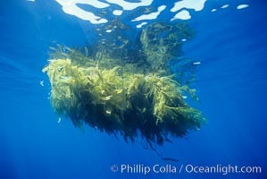 Drift kelp, open ocean, Macrocystis pyrifera, San Diego, California