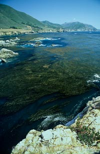 Kelp fronds reach the surface and spread out to form a canopy, Rocky Point, Macrocystis pyrifera, Big Sur, California