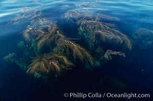 Kelp fronds reach the surface and spread out to form a canopy, Santa Barbara Island, Macrocystis pyrifera