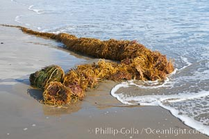 Drift kelp has washed ashore on a sandy California beach.  Winter brings large surf and increased wave energy which often rips giant kelp from the ocean bottom, so that it floats down current, often washing ashore. Santa Barbara, USA, Macrocystis pyrifera, natural history stock photograph, photo id 14883