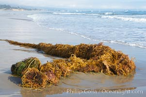 Drift kelp has washed ashore on a sandy California beach.  Winter brings large surf and increased wave energy which often rips giant kelp from the ocean bottom, so that it floats down current, often washing ashore, Macrocystis pyrifera, Santa Barbara