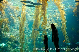 A parent and child admire the fascinating kelp forest tank at the Birch Aquarium at Scripps Institution of Oceanography, San Diego, California, Macrocystis pyrifera