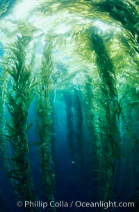 Kelp canopy. San Clemente Island, California, USA, Macrocystis pyrifera, natural history stock photograph, photo id 00600