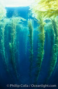 Image 00601, Kelp canopy. San Clemente Island, California, USA, Macrocystis pyrifera, Phillip Colla, all rights reserved worldwide. Keywords: algae, braendeltang, california, channel islands, environment, forest, gedroogde kelp, giant kelp, habitat, harina de kelp, harina de la macroalga, kelp, kelp forest, landscape, macroalga marina, macrocystis, macrocystis pyrifera, marine, marine algae, marine plant, nature, ocean, oceans, outdoors, outside, pacific, pacific ocean, phaeophyceae, plant, reuzenkelp, san clemente island, sargazo gigante, scene, scenery, scenic, sea, sea grass, sea weed, seascape, seaweed, underwater, underwater landscape, usa, zeewier.