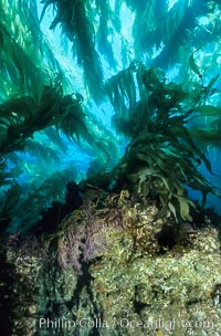 Image 00622, Kelp holdfast and substrate. San Clemente Island, California, USA, Macrocystis pyrifera, Phillip Colla, all rights reserved worldwide. Keywords: algae, braendeltang, california, channel islands, environment, forest, gedroogde kelp, giant kelp, habitat, harina de kelp, harina de la macroalga, kelp, kelp forest, landscape, macroalga marina, macrocystis, macrocystis pyrifera, marine, marine algae, marine plant, nature, ocean, oceans, outdoors, outside, pacific, pacific ocean, phaeophyceae, plant, reuzenkelp, san clemente island, sargazo gigante, scene, scenery, scenic, sea, sea grass, sea weed, seascape, seaweed, underwater, underwater landscape, usa, zeewier.