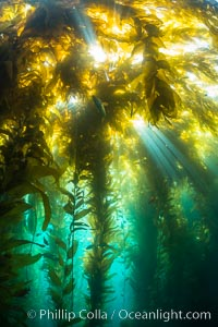 Sunlight streams through giant kelp forest. Giant kelp, the fastest growing plant on Earth, reaches from the rocky reef to the ocean's surface like a submarine forest. Catalina Island, California, USA, Macrocystis pyrifera, natural history stock photograph, photo id 33436