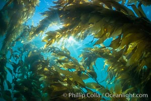Sunlight streams through giant kelp forest. Giant kelp, the fastest growing plant on Earth, reaches from the rocky reef to the ocean's surface like a submarine forest. Catalina Island, California, USA, Macrocystis pyrifera, natural history stock photograph, photo id 33437