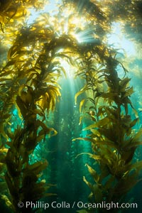 Sunlight streams through giant kelp forest. Giant kelp, the fastest growing plant on Earth, reaches from the rocky reef to the ocean's surface like a submarine forest. Catalina Island, California, USA, Macrocystis pyrifera, natural history stock photograph, photo id 33445