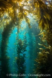 Sunlight streams through giant kelp forest. Giant kelp, the fastest growing plant on Earth, reaches from the rocky reef to the ocean's surface like a submarine forest. Catalina Island, California, USA, Macrocystis pyrifera, natural history stock photograph, photo id 33446