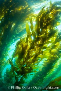 Sunlight glows throughout a giant kelp forest. Giant kelp, the fastest growing plant on Earth, reaches from the rocky reef to the ocean's surface like a submarine forest, Macrocystis pyrifera, San Clemente Island