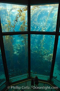 Giant kelp forest tank, Monterey Bay Aquarium