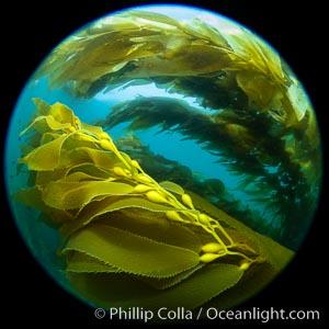 Giant Kelp Forest, West End Catalina Island, Macrocystis pyrifera