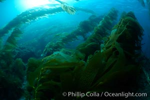 Kelp forest is swept back by ocean currents, underwater, Macrocystis pyrifera, Catalina Island