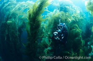 Diver amidst kelp forest. San Clemente Island, California, USA, Macrocystis pyrifera, natural history stock photograph, photo id 19918
