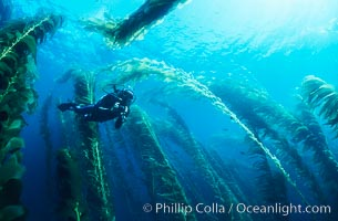 Diver amidst kelp forest. San Clemente Island, California, USA, Macrocystis pyrifera, natural history stock photograph, photo id 19925
