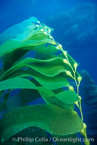 Kelp fronds. San Clemente Island, California, USA, Macrocystis pyrifera, natural history stock photograph, photo id 19989