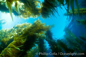 Giant kelp plants lean over in ocean currents, underwater.  Individual kelp plants grow from the rocky reef, to which they are attached, up to the ocean surface and form a vibrant community in which fishes, mammals and invertebrates thrive, Macrocystis pyrifera, San Clemente Island