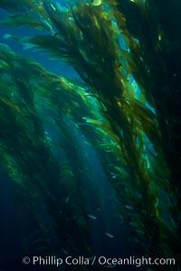 A kelp forest.  Giant kelp grows rapidly, up to 2' per day, from the rocky reef on the ocean bottom to which it is anchored, toward the ocean surface where it spreads to form a thick canopy.  Myriad species of fishes, mammals and invertebrates form a rich community in the kelp forest.  Lush forests of kelp are found through California's Southern Channel Islands. San Clemente Island, California, USA, Macrocystis pyrifera, natural history stock photograph, photo id 23498