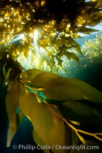Image 25433, A view of an underwater forest of giant kelp.  Giant kelp grows rapidly, up to 2' per day, from the rocky reef on the ocean bottom to which it is anchored, toward the ocean surface where it spreads to form a thick canopy.  Myriad species of fishes, mammals and invertebrates form a rich community in the kelp forest.  Lush forests of kelp are found through California's Southern Channel Islands. San Clemente Island, USA, Macrocystis pyrifera, Phillip Colla, all rights reserved worldwide. Keywords: algae, braendeltang, california, channel islands, environment, forest, gedroogde kelp, giant kelp, habitat, harina de kelp, harina de la macroalga, kelp, kelp forest, macroalga marina, macrocystis, macrocystis pyrifera, marine, marine algae, marine plant, nature, ocean, ocean and light, oceans, offshore, outdoors, outside, pacific, pacific ocean, phaeophyceae, plant, reuzenkelp, san clemente island, sargazo gigante, scene, scenery, scenic, sea, sea grass, sea weed, seascape, seaweed, southern channel islands, submarine, underwater, underwater landscape, usa, zeewier.