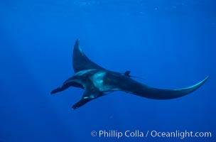 Manta ray. San Benedicto Island (Islas Revillagigedos), Baja California, Mexico, Manta birostris, natural history stock photograph, photo id 02445