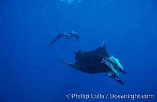 Manta ray. San Benedicto Island (Islas Revillagigedos), Baja California, Mexico, Manta birostris, natural history stock photograph, photo id 02448