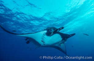 Manta ray, Manta birostris, San Benedicto Island (Islas Revillagigedos), copyright Phillip Colla Natural History Photography, www.oceanlight.com, image #02453, all rights reserved worldwide.
