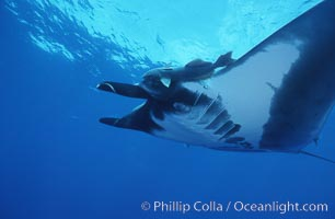 Image 06239, Pacific manta ray with remora, San Benedicto Island, Revilligigedos., Manta birostris, Remora sp.