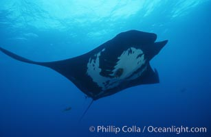 Image 06255, Pacific manta ray with remora, San Benedicto Island, Revilligigedos., Manta birostris, Remora sp.
