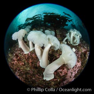 Marine Life of the Pacific Northwest, Underwater Stock Photography