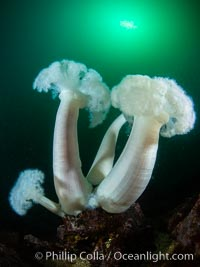 Giant Plumose Anemones cover underwater reef, Browning Pass, northern Vancouver Island, Canada. British Columbia, Canada, Metridium farcimen, natural history stock photograph, photo id 35475