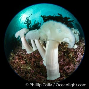 Giant Plumose Anemones cover underwater reef, Browning Pass, northern Vancouver Island, Canada. British Columbia, Metridium farcimen, natural history stock photograph, photo id 35514