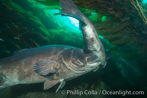 Giant black sea bass, gathering in a mating - courtship aggregation amid kelp forest, Catalina Island. Catalina Island, California, USA, Stereolepis gigas, natural history stock photograph, photo id 33364