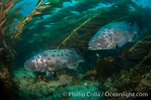 Giant black sea bass, gathering in a mating - courtship aggregation amid kelp forest, Catalina Island, Stereolepis gigas
