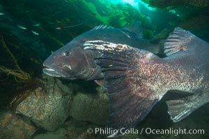 Image 33390, Giant black sea bass, gathering in a mating - courtship aggregation amid kelp forest, Catalina Island. Catalina Island, California, USA, Stereolepis gigas