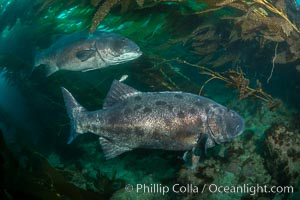Giant black sea bass, gathering in a mating - courtship aggregation amid kelp forest, Catalina Island. Catalina Island, California, USA, Stereolepis gigas, natural history stock photograph, photo id 33397