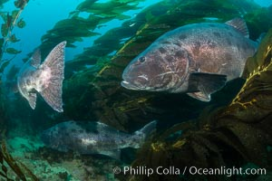 Giant black sea bass, gathering in a mating - courtship aggregation amid kelp forest, Catalina Island. Catalina Island, California, USA, Stereolepis gigas, natural history stock photograph, photo id 33399