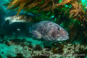 Giant black sea bass, gathering in a mating - courtship aggregation amid kelp forest, Catalina Island. Catalina Island, California, USA, Stereolepis gigas, natural history stock photograph, photo id 33404